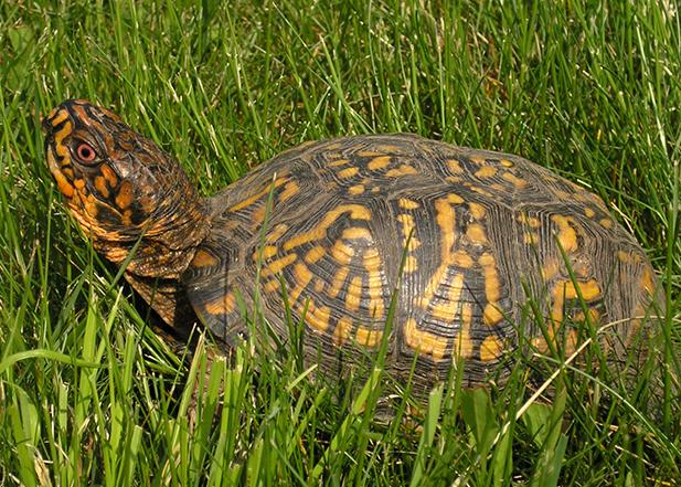 Box turtle crossing a lawn in Middleboro, MA