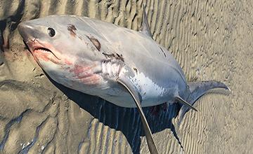 Thresher Shark stranded on a beach on Cape Cod.