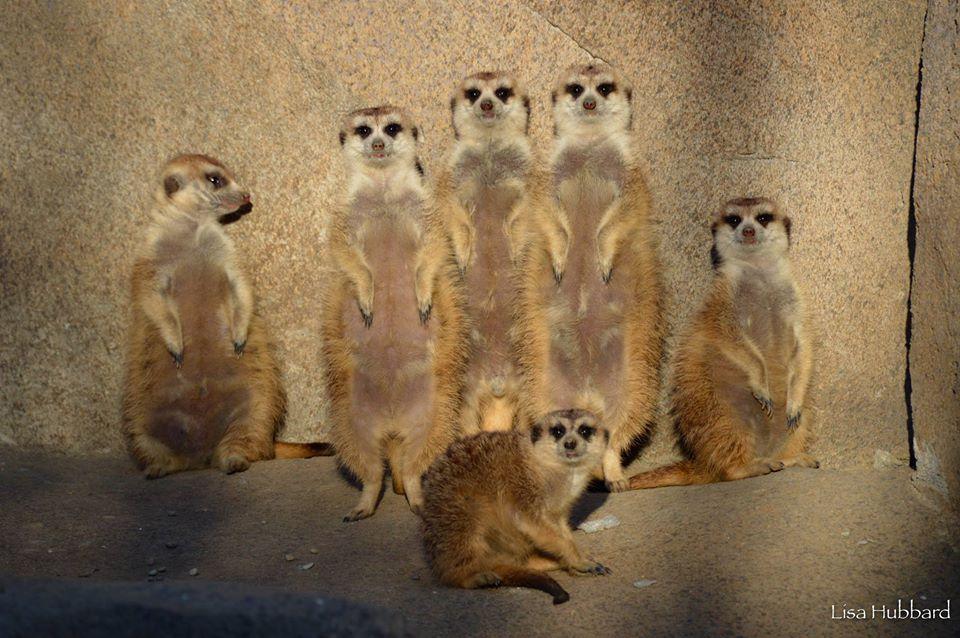 meerkat mob