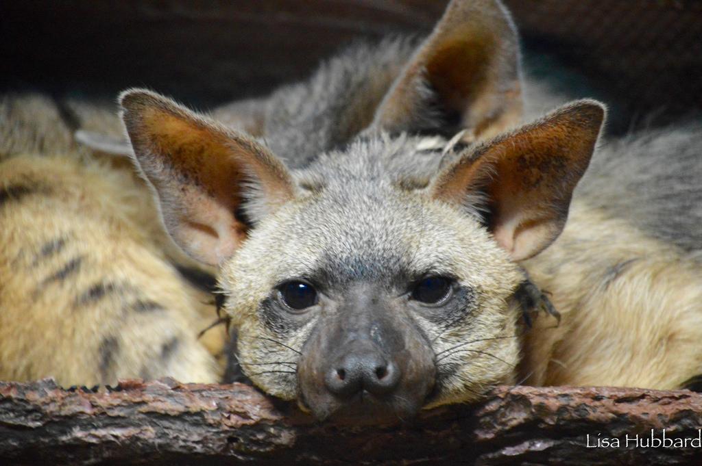 baby bat eared fox photo