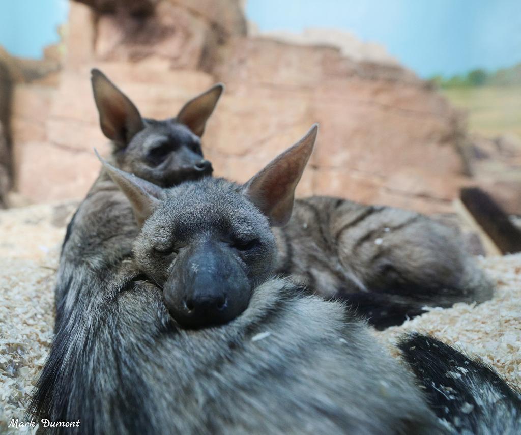bat eared fox photo