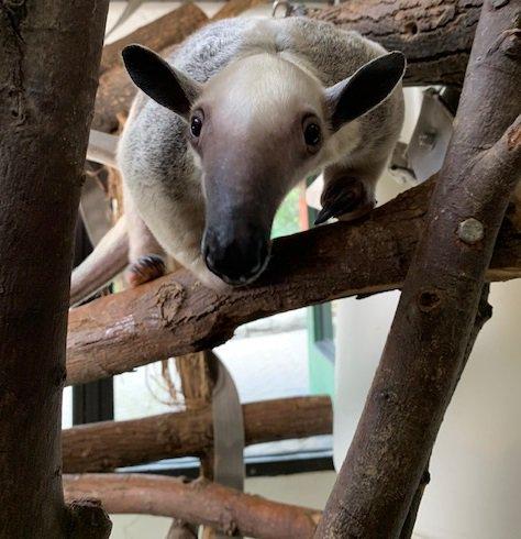 Tamandua Home Safari Quiz