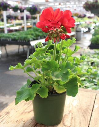 Zonal Geranium, Red