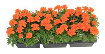 Marigolds, Orange