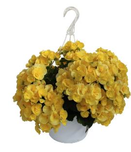 Begonias, Yellow