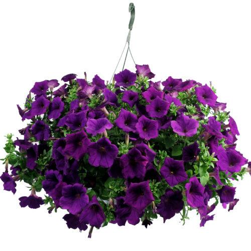 Petunias, Purple/Blue